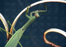 Praying Mantis - Photo by Sharani