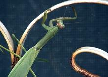 Praying Mantis - Photo by Sharani