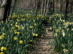 Daffodil Field in Dartmouth - Photo by Sharani