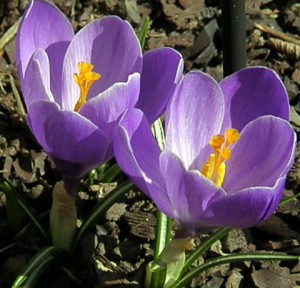 Crocus blooming in my yard March 2009